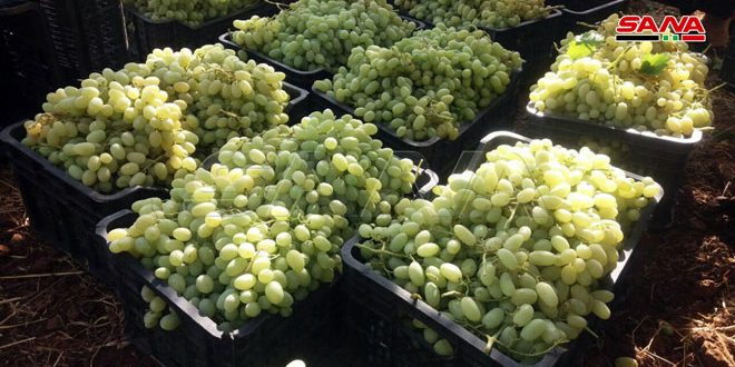 Grape production in Quneitra estimated at about 2800 tons for current season