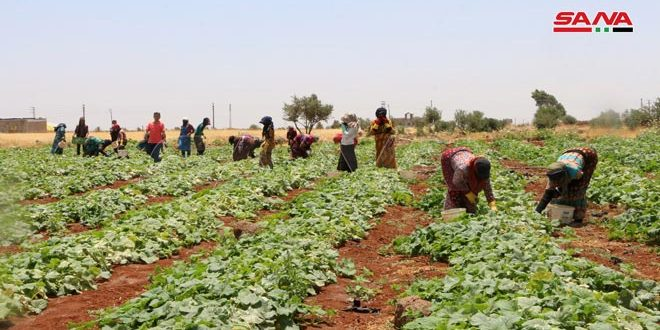 After years of hiatus, farmers of Sheikh Miskeen re-cultivate their lands